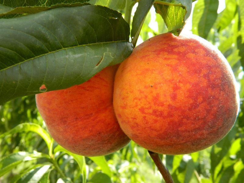 Купить саженцы персика Сорта персика Дивосад